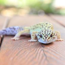 Calypso/Leopard Gecko