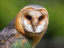 barn-owl-benefactors-lagoon-foundation-p