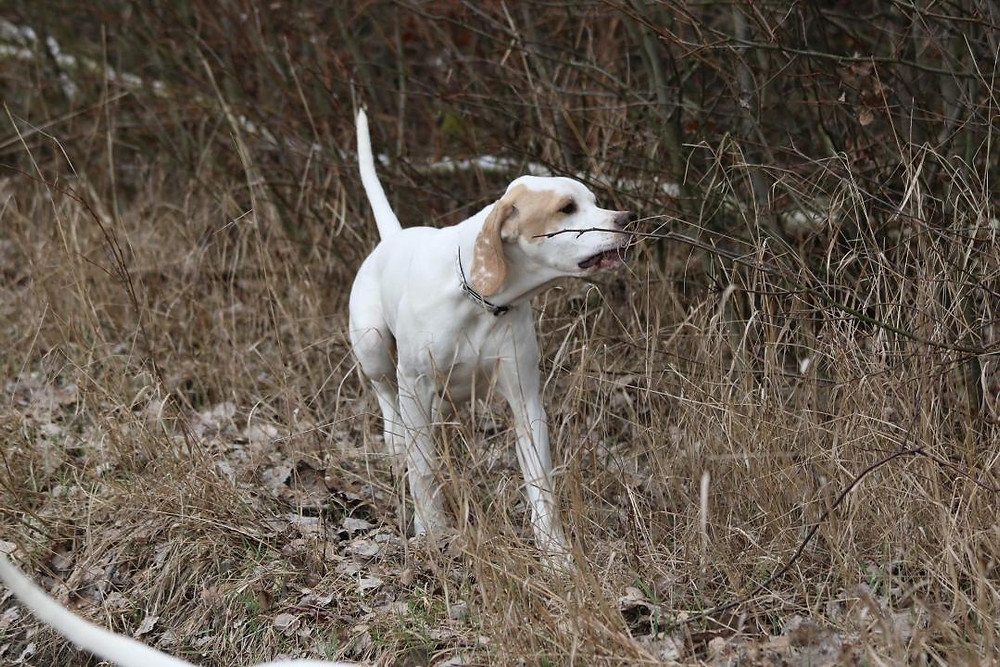 Jared as a 5 month old puppy hunting pheasant in his native Poland with his breeder Magda Karczewska.