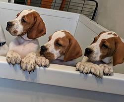 3 puppies8 weeks.JPG