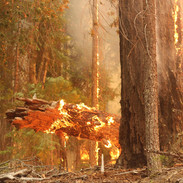 Heavy forest fuels burn