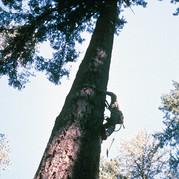 Climbing Big Trees in the Siskiyou