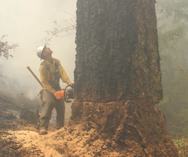 wildland firefighter contracted tree faller works on a large tree with a chainsaw