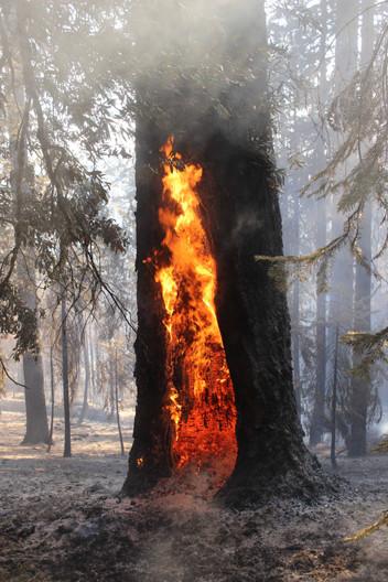 Douglas Fir Tree Burns