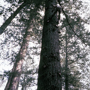 Climbing Big Trees in the Siskiyou