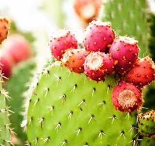 Ingredient Spotlight...Prickly Pear Seed Oil