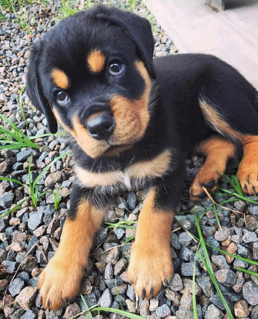 Beautiful Rottweiler Pup (5)
