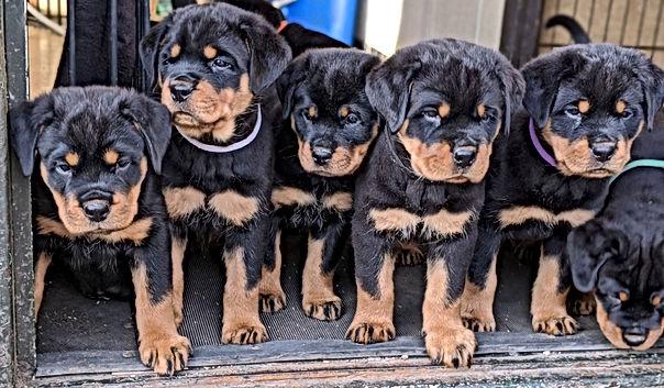 Rottweiler Puppies.jpg