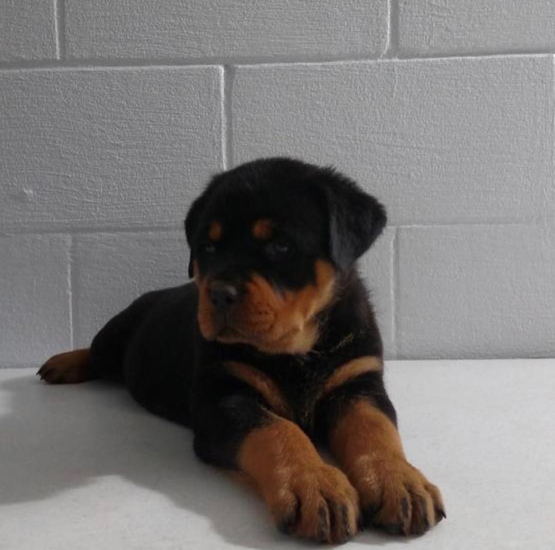Rottweiler Pup (6)