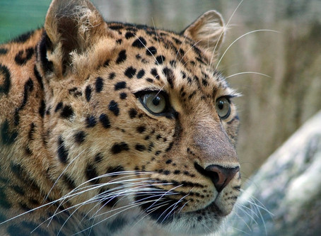 People say a leopard never changes its spots