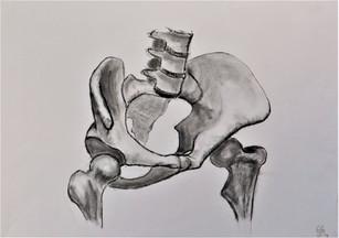 Bekken skelet