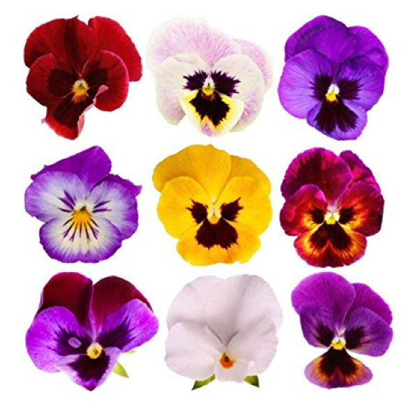 Mixed Pansy Flowers