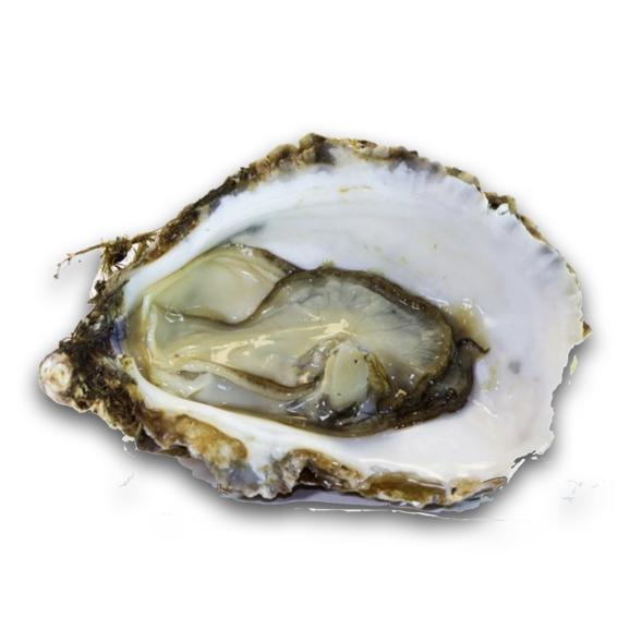 Krystale Oyster