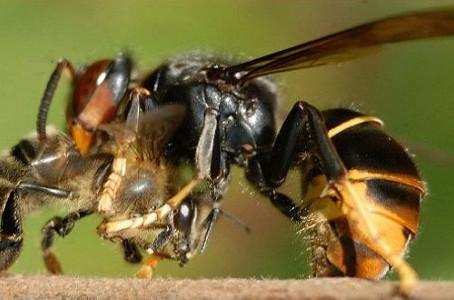 Avispa asiática ,depredador de abejas