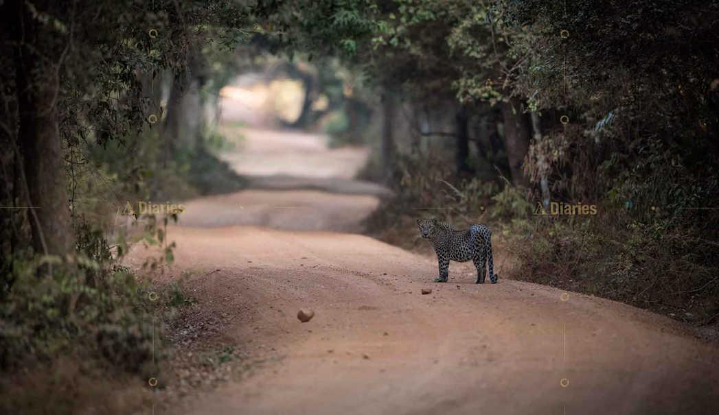 Leopard at Wilpattu National Park