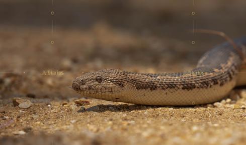 Common Sand Boa