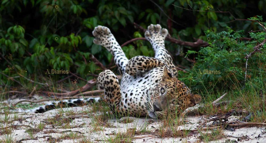 Leopard (Panthera pardus kotiya)