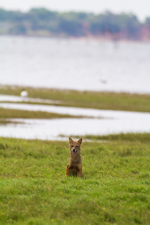 Jackal (Canis Aereus Naria)