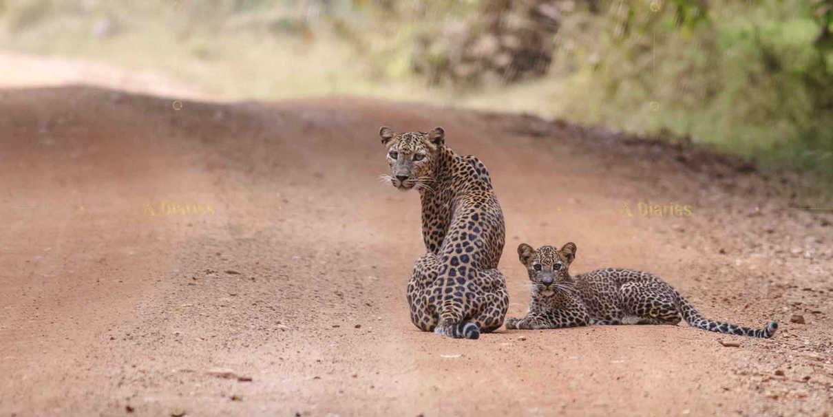 Leopard Safaris