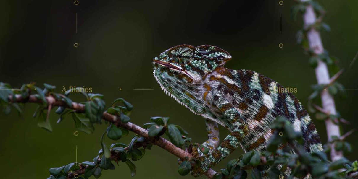 Chameleon at Wilpattu National Park