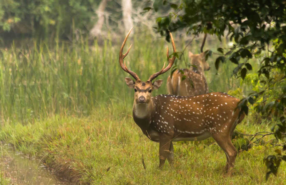 Ceylon Spotted Deer