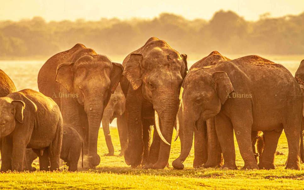 Herd of wild Asian elephants