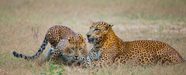 Yala Leopard Safaris