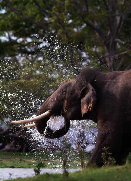 Tusker Splashing