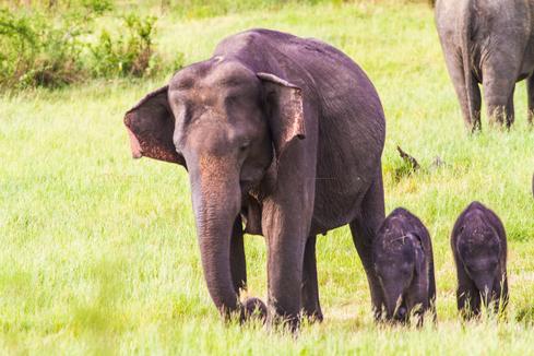 First Twin Elephants