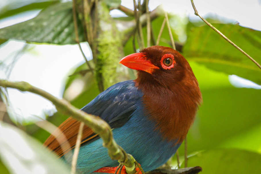 Blue Magpie or Ceylon Magpie