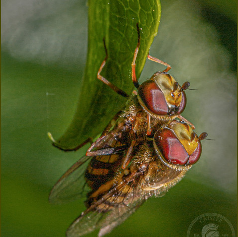 Hoverflies on a leaf