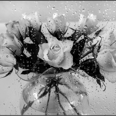 Watering The Roses