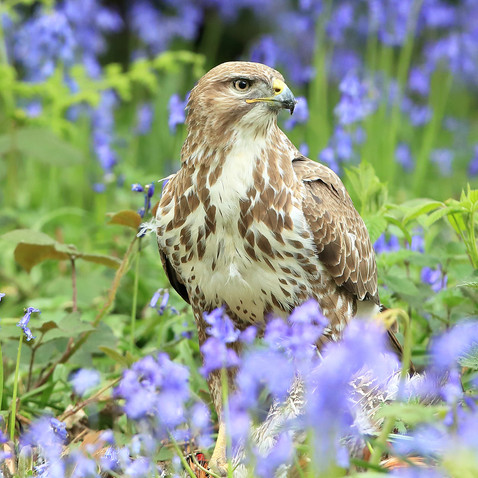 Buzzard in Bluebells