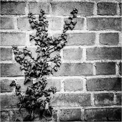 21 Watching the Ivy Grow.jpg