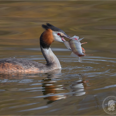 Grebe with a Perch