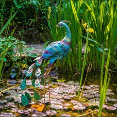 Pond Peacock
