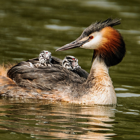 Crested grebe with young