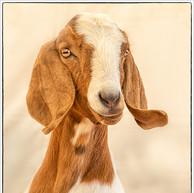 A Goat portrait