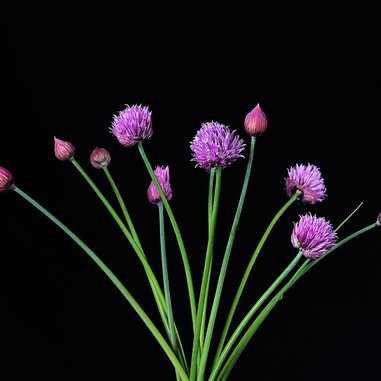A Bouquet of Chives