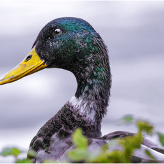 A Study in Duck