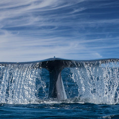 The Tail of the whale