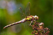Comon Darter Dragonfly