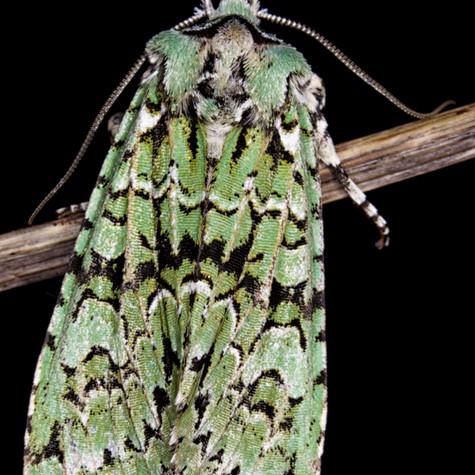 Merveille de Jour, a green moth