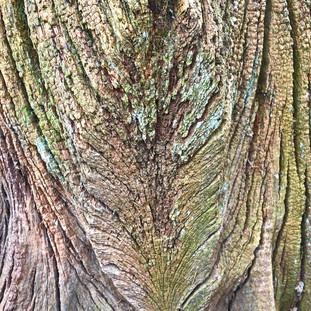 Weathered Oak Stump