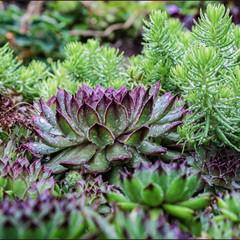 Wet Succulents
