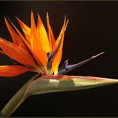 3 Bird of Paradise (Strelitzia).JPG