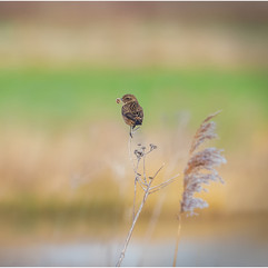 Stonechat with nesting material