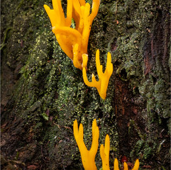 Yellow Stagshorn Coral