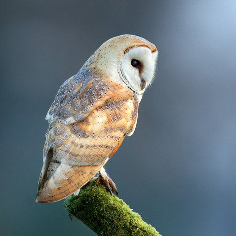 Barn owl hunting from perch