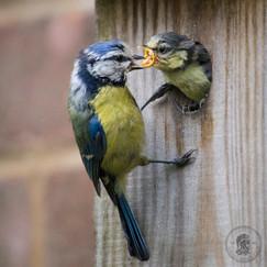 Feeding before Fledging